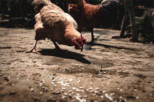 תרנגול המנקר באשפה